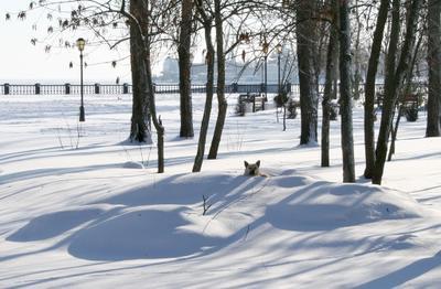 Снежный пес собака, снег