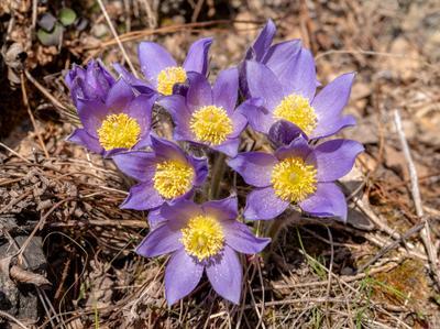Алтайские первоцветы Сон-трава