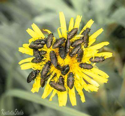 Собрание..На одуванчике! одуванчик жуки май весна