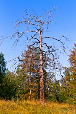 Свидетель столетия. Лес небо дерево