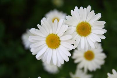 Полевые цветы ромашки поле цветы