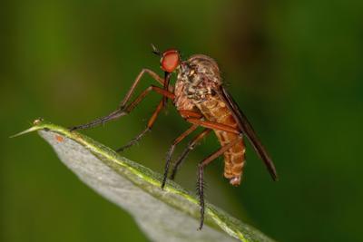 Ктырь ктырь комар макро canon 70d насекомые