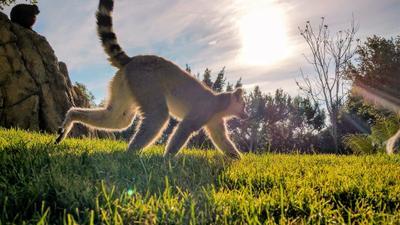 Лемур на свободе валенсия био-парк лемур природа