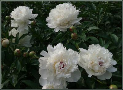 Зацвели пионы в родовом имении Красота и аромат