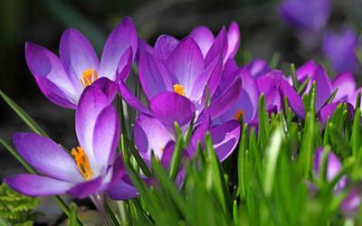 крокусы весна крокусы