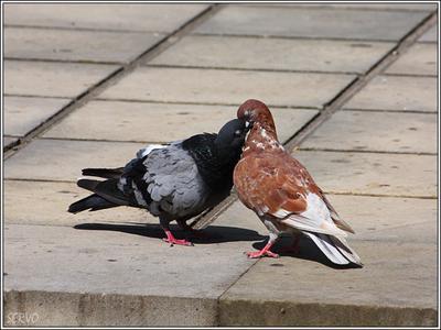 Love is ... /1 голуби поцелуй любовь