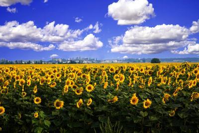 Солнце мира нам Светило Лето подсолнухи поле