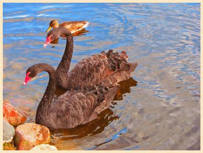 Лебеди в черном лебеди, птицы, озеро