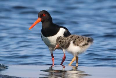 с мамой кулик-сорока кулик птенец ладожское озеро карелия