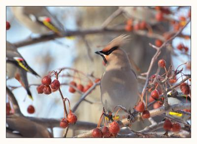 Свиристель свиристель птицы весна яблочки