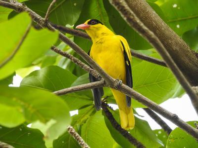 Иволга китайская черноголовая Фотоохота птицы Таиланд иволга