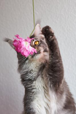 Хвать! кот кошка мейн кун