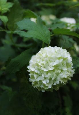 boule de neige природа растения цветы лето