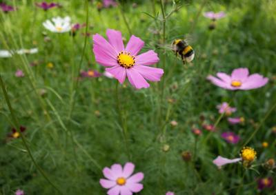 Пчелка и космея