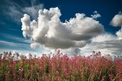 Иван-чай Иван-чай небо облако цветы лето