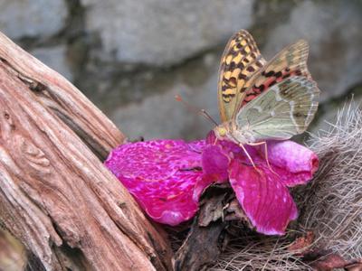 Из семейства Нимфалид бабочка Нимфалиды