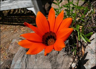 Oранжевое настроение orange, flower, garden