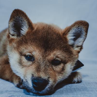 Милая мордашка собаки Япония сиба-ину самурай шиба щенок малыш