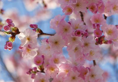 Розовая радость розовые цветы весна облако радость март