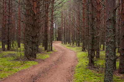 Лесная дорога лес сосны мох дорога