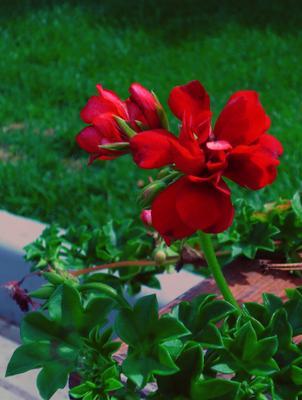 Красный цветочек Цветок красный