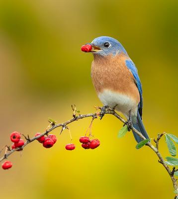 Восточная сиалия (самец) - Eastern Bluebird male