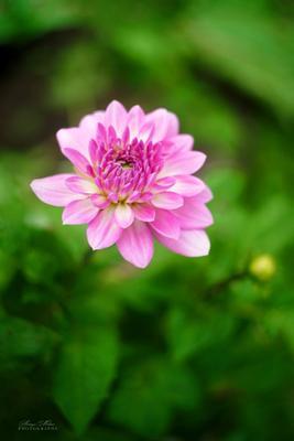 *** Цветок георгина растение