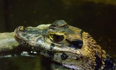 Я красавчик?! крокодильчик