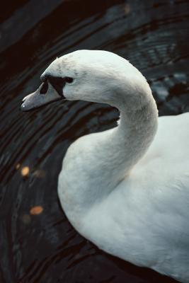 swan лебедь птица животное клюв вода перья