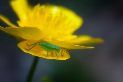 кузнечик природа насекомые макро