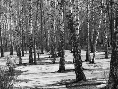Березовая роща Весна пейзаж природа деревья черно-белая фотография
