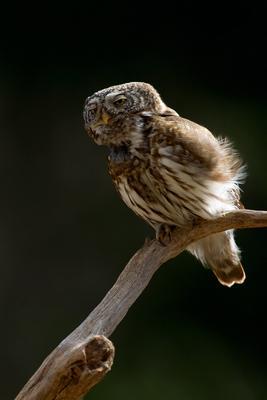 После сытого обеда , по закону Архимеда ..... Воробьиный сыч Glaucidium passerinum мелкая сова птица природа