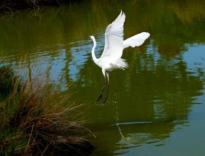 Молодая, красивая, белая egret цапля