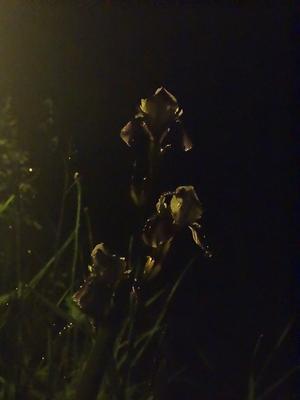 Скоро полночь - Ирисы всё ещё цветут - Конец июня sony dsc-hx200 moscow suburb iso 12800 close-up flowers very long distance macro