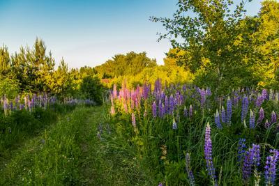 *** природа пейзаж лето.вечер люпины татарстан новая тура