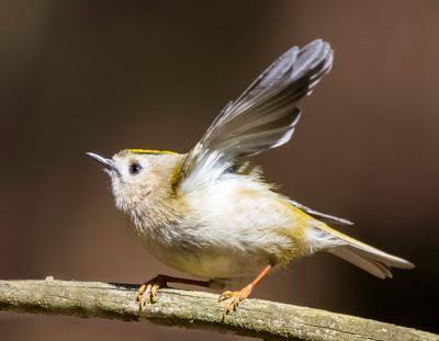 Королёк птицы природа весна лес