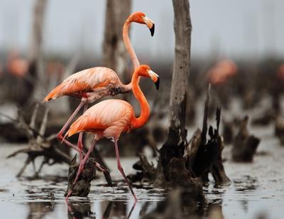 ___ Куба фламинго Камагуэй