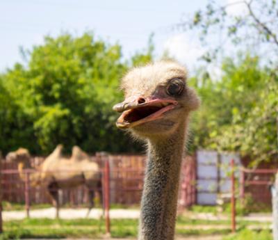 улыбка страус животные