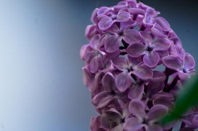 Сирень. цветы растения сирень природа лето