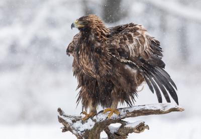 Перезагрузка беркут птицы хищник