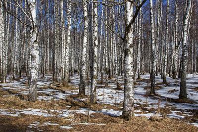 Весна в березовой роще весна снег роща береза