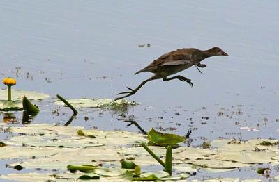 Разбег,  прыжок... птицы камышница болотная курочка