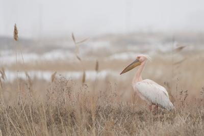 Розовый Пеликан птицы природа пеликан розовый весна