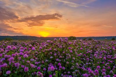 Клевер Пермский край пейзаж рассвет цветы