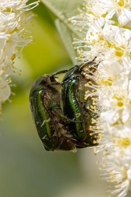 Бронзовка золотистая Бронзовка золотистая бронзовка обыкновенная Cetonia aurata жук насекомые