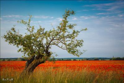 Самотність дерево маки природа пейзаж