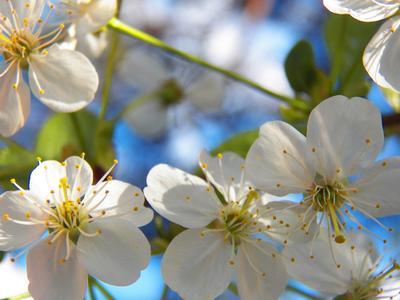 ***Вишневый цвет Moscow весна цветы вишня