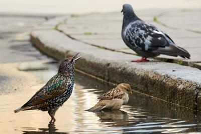 *** птицы лужа город купанье