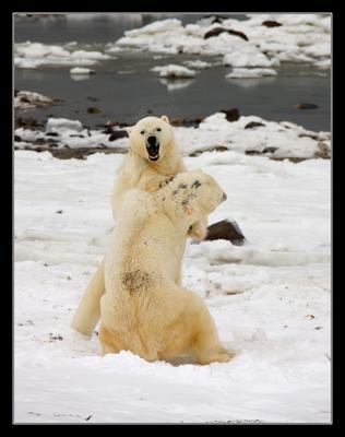 Поединок 1 Белый медведь Канада Churchill