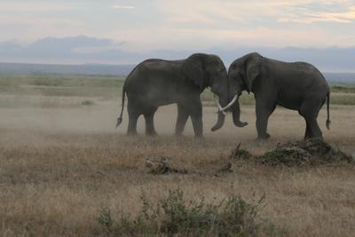 Схватка слонов национальном парке Амбосели (Кения)
